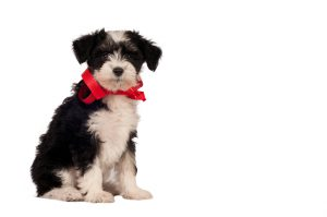 Chinese Crested Dog - Powder-puff puppy on a white background with space for text.