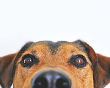 Korthårig hund